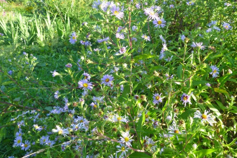 Asters have been with us for thousands of years.