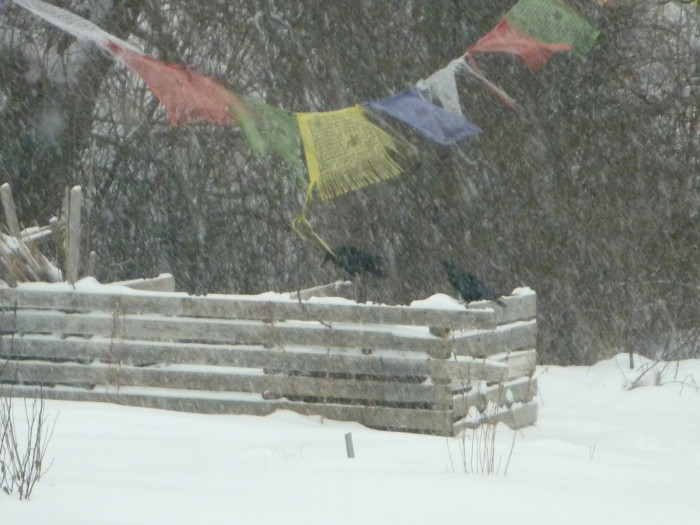 crows in the snow